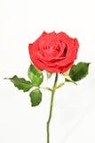 Róże romans Zdjęcia Royalty Free