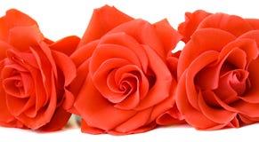 róże trzy Zdjęcie Royalty Free