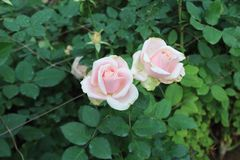 Róże w dzikim zdjęcie stock