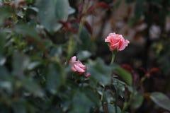 Róże w ogródzie na jesieni Obraz Stock