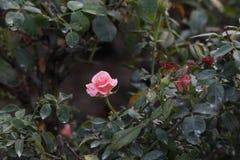 Róże w ogródzie na jesieni Obrazy Royalty Free