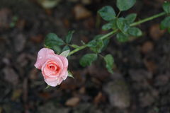 Róże w ogródzie na jesieni Obrazy Stock