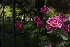 Róże w retiro parku w Madryt Zdjęcie Royalty Free