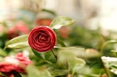 Róża kwiat kwitnie w wiosna sezonie Zdjęcia Stock