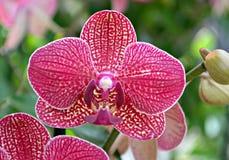 Różnobarwna orchidea Fotografia Royalty Free