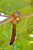 Różnobarwna wiewiórka Fotografia Stock