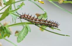 Różnobarwny Fritillary motyl Caterpillar Obrazy Stock