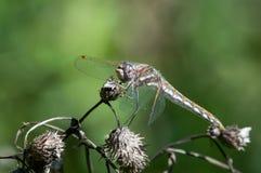 Różnobarwny Meadowhawk Fotografia Stock