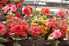 Różnorodna begonia w ogródzie Zdjęcie Royalty Free