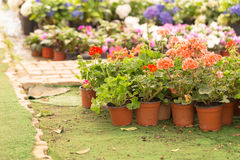 Różny jakby Kwitnie i ziele w garnkach w szklarni Zdjęcie Stock