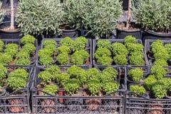 Różny jakby Kwitnie i ziele w garnkach w szklarni Zdjęcia Stock
