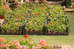 Różny jakby Kwitnie i ziele w garnkach w szklarni Obrazy Royalty Free