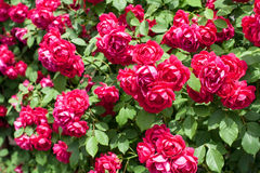 Róża ogród Obrazy Stock