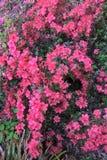 Różowa azalia zdjęcia royalty free