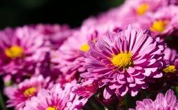 Różowa chryzantema Zdjęcia Stock