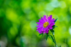 Różowa chryzantema Fotografia Royalty Free