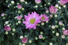Różowa chryzantema Obrazy Stock