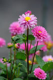 Różowa Dalia zdjęcia stock