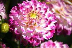 Różowa dalia Obraz Royalty Free