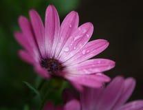 Różowa dama Obraz Stock