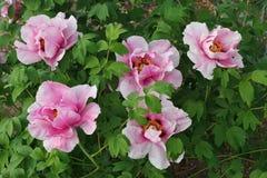 Różowa drzewna peonia Obraz Royalty Free