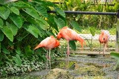 Różowa flaming pozycja na stawie Zdjęcie Royalty Free