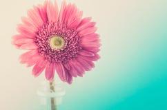 Różowa gerbera stokrotka Zdjęcia Royalty Free