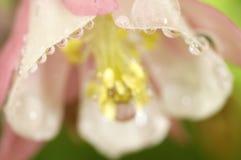 Różowa kolombina po deszczu Obraz Stock