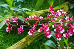 Różowa kolor orchidea kwitnie na rozmytym zielonym natury tle Obraz Stock