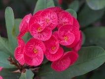 Różowa kwiat korona ciernia kwiat Zdjęcie Stock