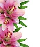 Różowa leluja kwiatów granica Fotografia Stock