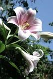 Różowa leluja na niebieskiego nieba tle w lecie Zdjęcia Royalty Free