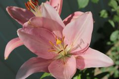 Różowa leluja, r w lato ogródzie Obraz Stock