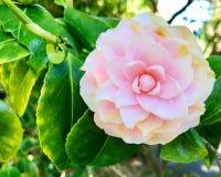 Różowa magnolia Zdjęcia Stock