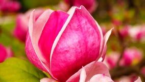 Różowa magnolia zbiory