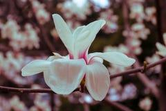 Różowa magnolia Obrazy Royalty Free