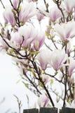 Różowa magnolia Fotografia Royalty Free