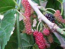 Różowa Morus owoc na zielonym drzewie Zdjęcia Royalty Free