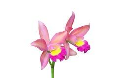 Różowa Orchidea Zdjęcie Stock