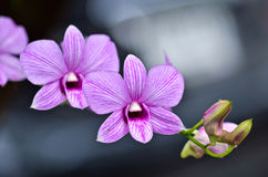 Różowa orchidea Zdjęcie Royalty Free