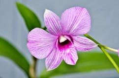 Różowa orchidea Obrazy Royalty Free