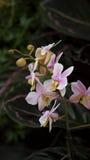 Różowa orchidea Zdjęcia Royalty Free