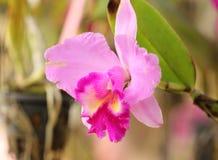 Różowa orchidea Fotografia Royalty Free