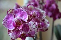 Różowa orchidea Fotografia Stock