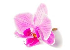 Różowa orchidea Obrazy Stock