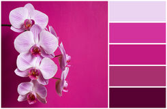 Różowa orchidea (alette kolory) Fotografia Royalty Free