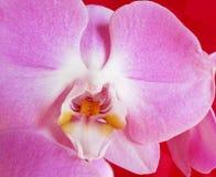Różowa orchidea, delikatny kwiat Zdjęcia Stock