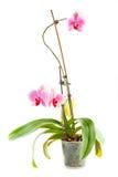 Różowa orchidea Izbowy kwiat w przejrzystym flowerpot Obrazy Royalty Free