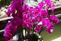 Różowa orchidea na kwiatu przedstawieniu Obrazy Royalty Free