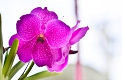Różowa orchidea na stronie. zdjęcie stock